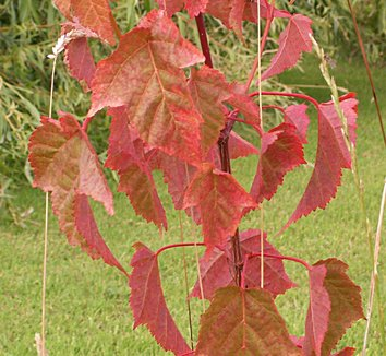 Acer laxiflorum 1