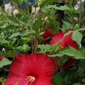 Hibiscus 'Cinnamon Grappa'