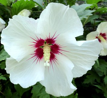 hibiscus syriacus 39 red heart 39 red heart rose of sharon. Black Bedroom Furniture Sets. Home Design Ideas