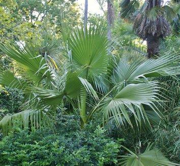 Washingtonia robusta 5