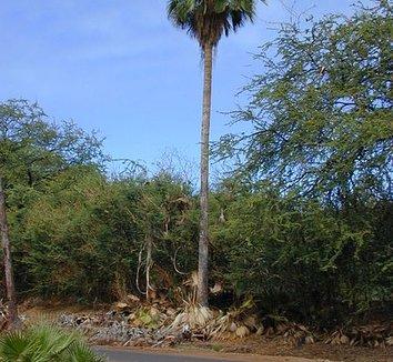 Washingtonia robusta 16 form