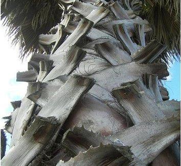Washingtonia robusta 11 trunk