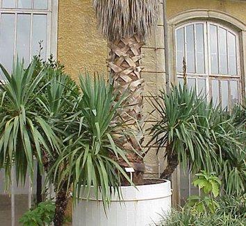 Washingtonia robusta 8 trunk
