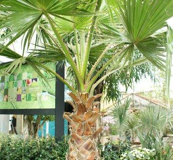 Washingtonia robusta 20 young plant