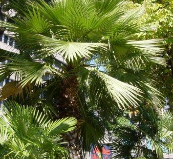 Washingtonia robusta 22 form