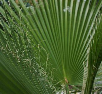 Washingtonia robusta 25