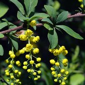 Berberis chinensis