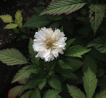Rubus rosifolius 'Coronarius' 1 flower