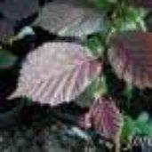 Corylus 'Ruby'
