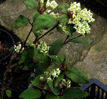 Ribes laurifolium 6 flower