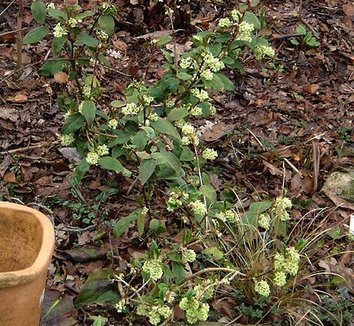 Ribes laurifolium 7 flower
