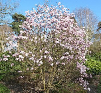 Magnolia stellata 'Jane Platt' 5 flower, form