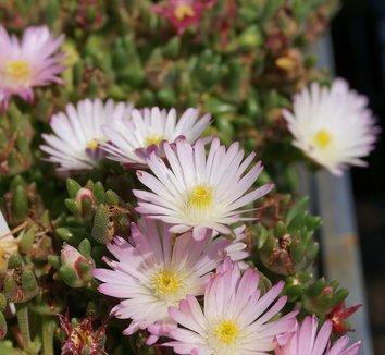 Delosperma 'Osberg' 6 flower