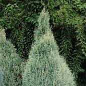 Chamaecyparis lawsoniana 'Barry's Silver'