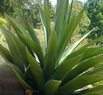 Agave gentryi 'Jaws' 7 form
