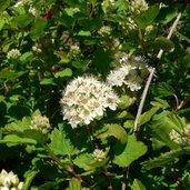 Physocarpus monogynus