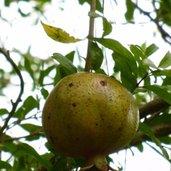 Punica granatum 'Grenada'
