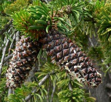 Pinus longaeva 7
