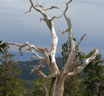 Pinus longaeva 5 form