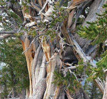 Pinus longaeva 4 form