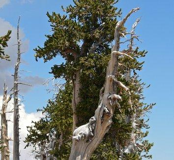 Pinus longaeva 3 form