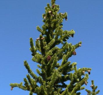 Pinus longaeva 2