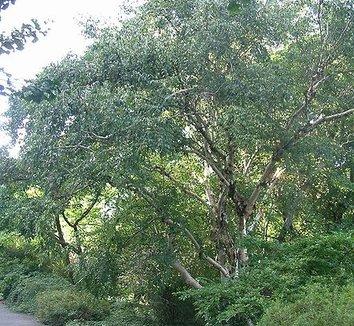 Betula albosinensis 'Septentrionalis' 3