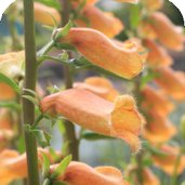 Digitalis 'Honey Trumpet'