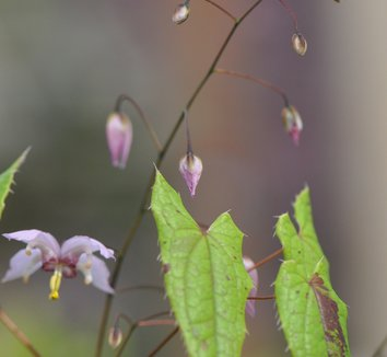 Epimedium 'Enchantress' 1 flower