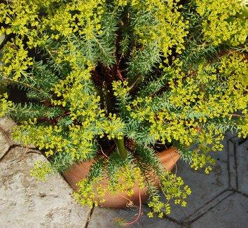 Euphorbia 'Dean's Hybrid' 4 flower