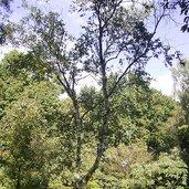Betula albosinensis