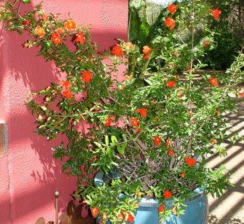 Punica granatum 4 flower, form