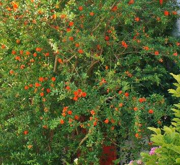 Punica granatum 5 flower