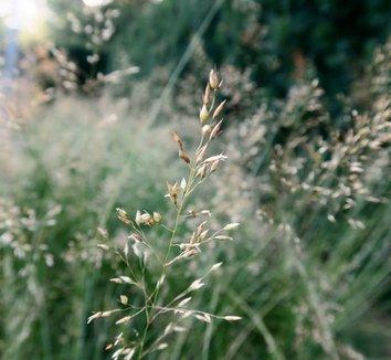 sporobolus heterolepsis sporobolus heterolepis prairie dropseed plant lust. Black Bedroom Furniture Sets. Home Design Ideas