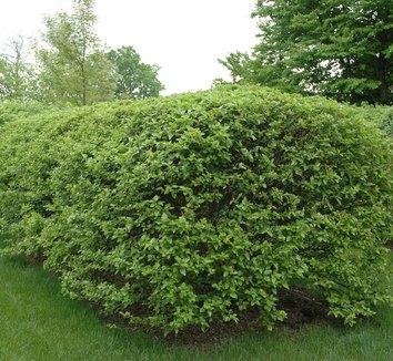 Betula nigra 'Little King' 9