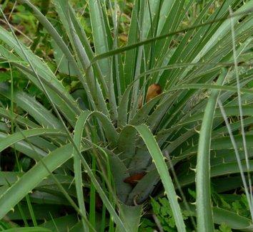 Puya alpestris 5 form
