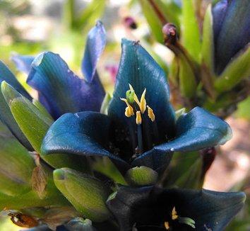 Puya alpestris 4 flower