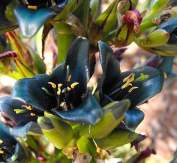 Puya alpestris 3 flower