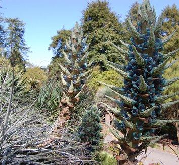 Puya alpestris 10 flower