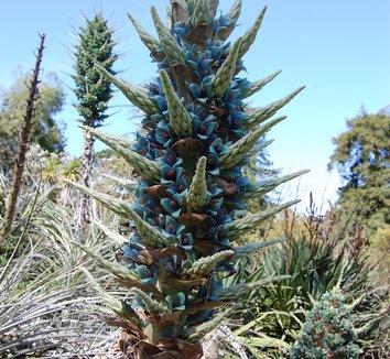 Puya alpestris 11 flower