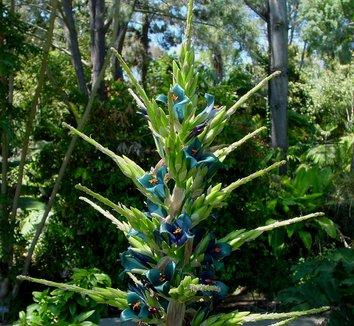 Puya alpestris 13 flower