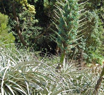 Puya alpestris 15 flower