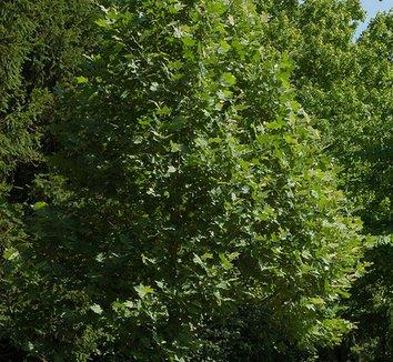 Platanus x acerifolia 'Morton Circle' 1 form