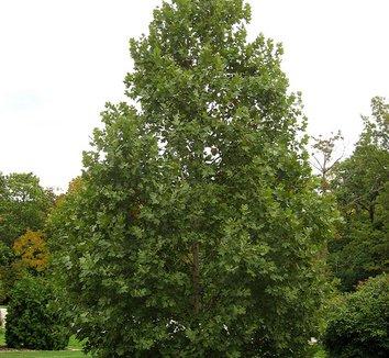 Platanus x acerifolia 'Morton Circle' 3 form