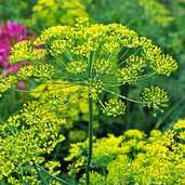 Anethum graveolens 'Bouquet'
