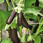 Eggplant 'Orlando'