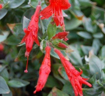 Zauschneria septentrionalis 'Wayne's Silver' 5 flower