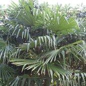 Trachycarpus fortunei 'Charlotte'