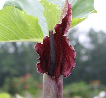 Typhonium giganteum 3 flower