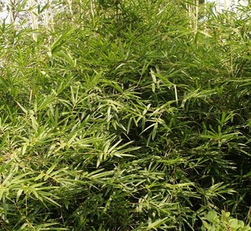 Bambusa multiplex 'Green Giant' 1